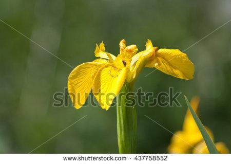 Iris Pseudacorus Stock Photos, Royalty.