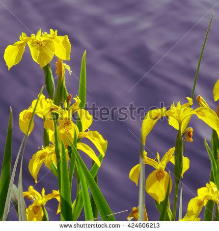 Yellow Flag Iris Stock Photos, Royalty.
