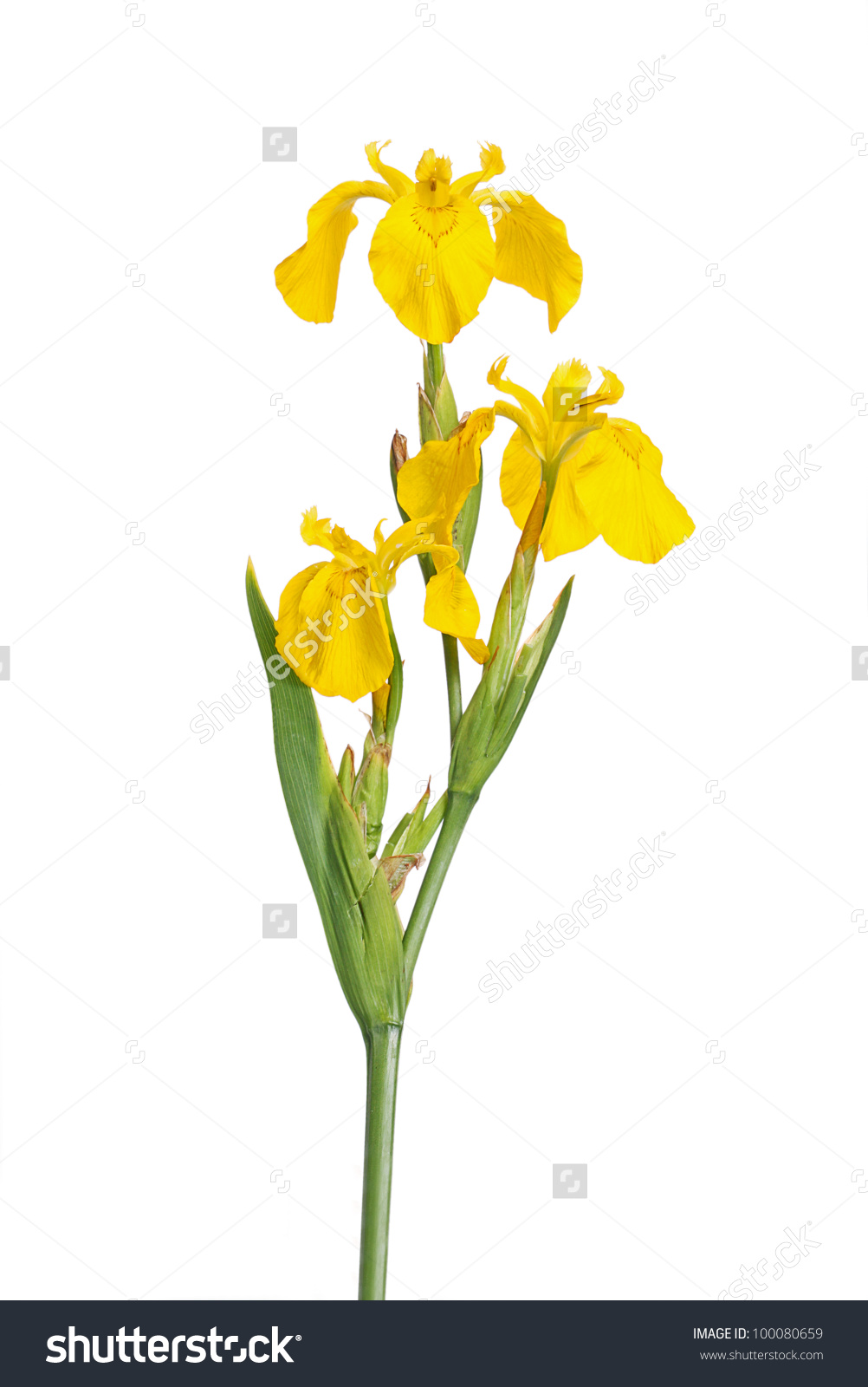 Stem Three Flowers European Yellow Flag Stock Photo 100080659.