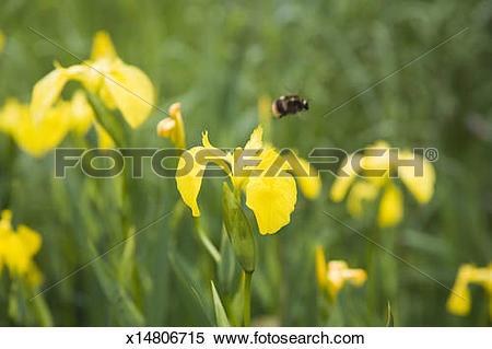 Stock Image of Iris flowers (Iris pseudacorus) with bumblebee.