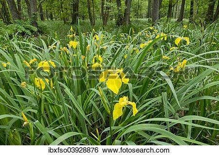 "Stock Images of ""Yellow Iris (Iris pseudacorus), flowering in an."