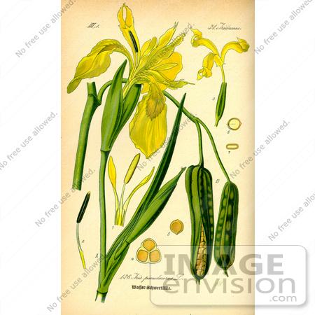 Picture of Yellow Flag Iris (Iris pseudacorus).
