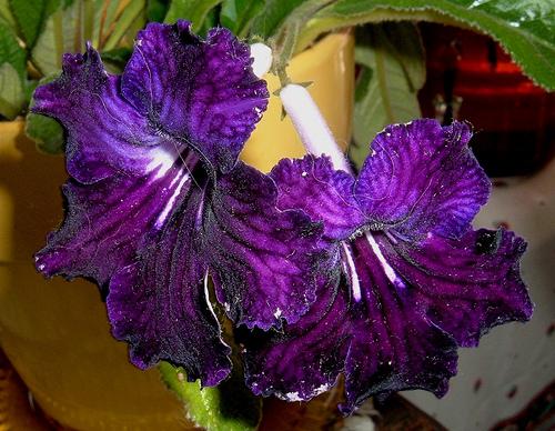 Gesneriads (Gesneriaceae).