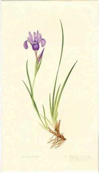 1000+ images about Z Kosatce 3 iris on Pinterest.