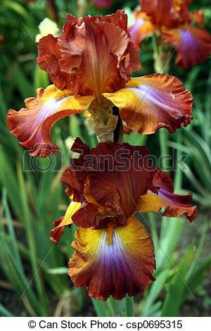 Stock Images of Root Beer Iris.