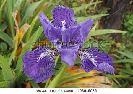 Roof Iris Stock Photos, Royalty.