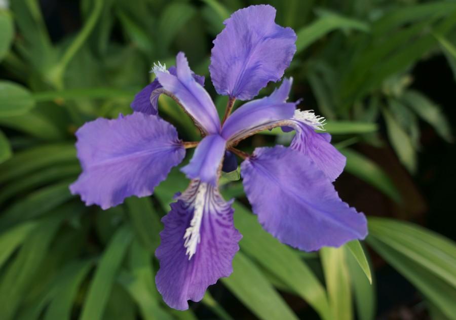 Iris tectorum clipart #7