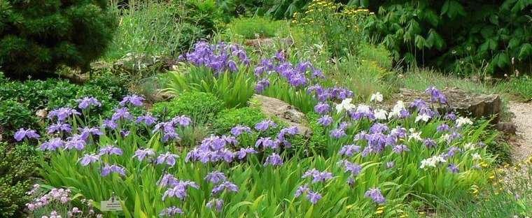 Japanese Roof Iris, Root Iris, Wall Iris Iris tectorum.
