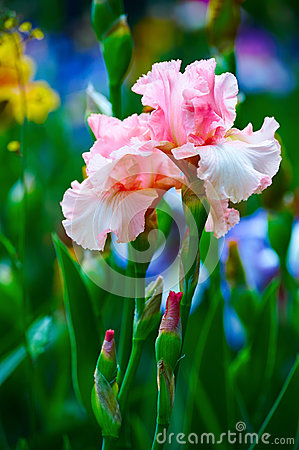 Iris Tectorum, Roof Iris, Wall Iris Stock Photo.