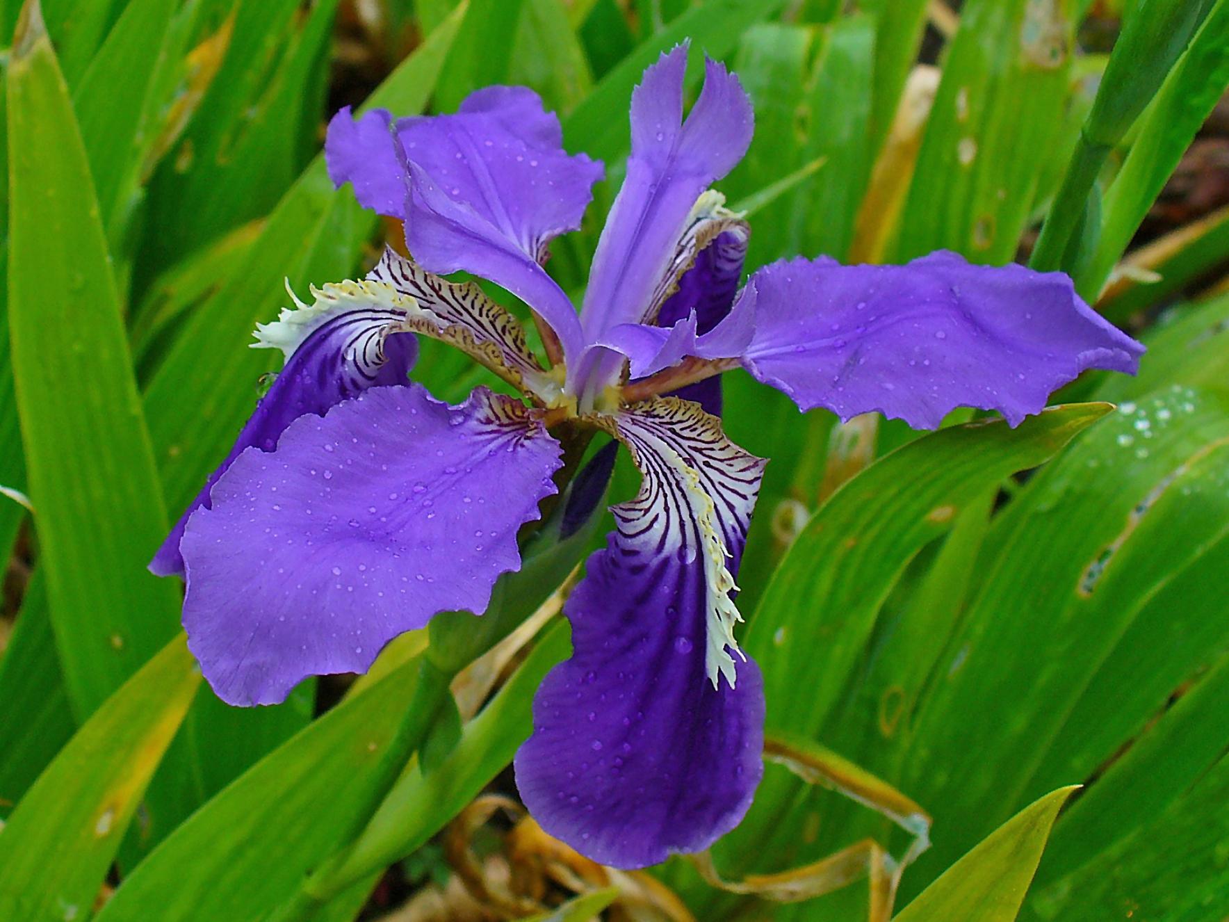 File:Iris tectorum 002.JPG.