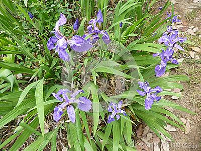 Iris tectorum clipart #19