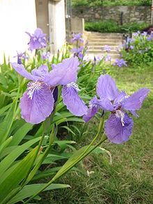Iris tectorum.
