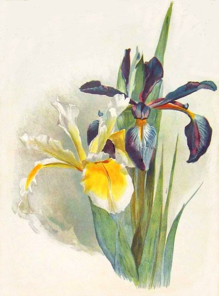 1000+ images about Iris, my favorite spring flower on Pinterest.