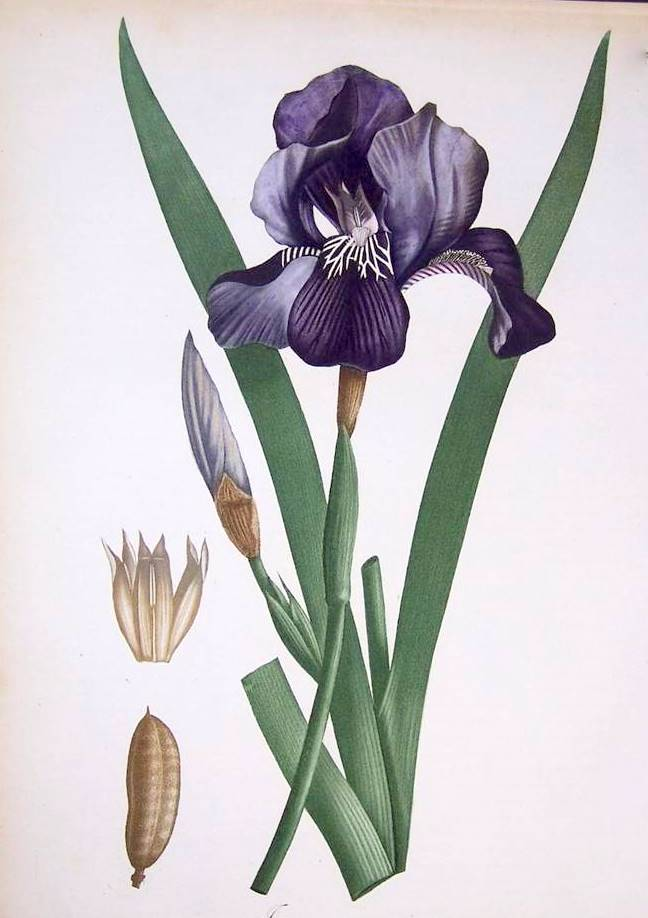 1000+ images about Botanical: Iris.