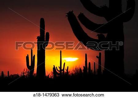 Stock Photo of Saguaro cactus at sunset during monsoon season in.