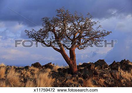 Stock Photo of Ironwood tree at sunset x11759472.