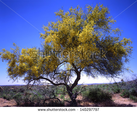 """paloverde Trees"" Stock Photos, Royalty."