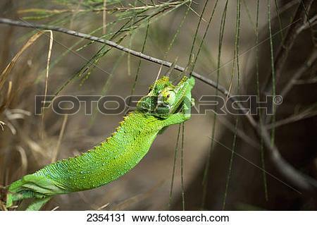 Stock Photography of Detail Of Jackson's Chameleon (Trioceros.