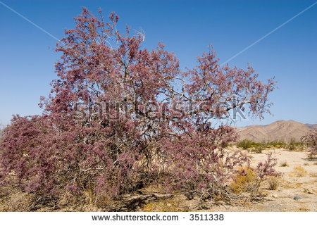Purple Flower Teeming With Bees, An Ironwood Tree In Joshua Tree.