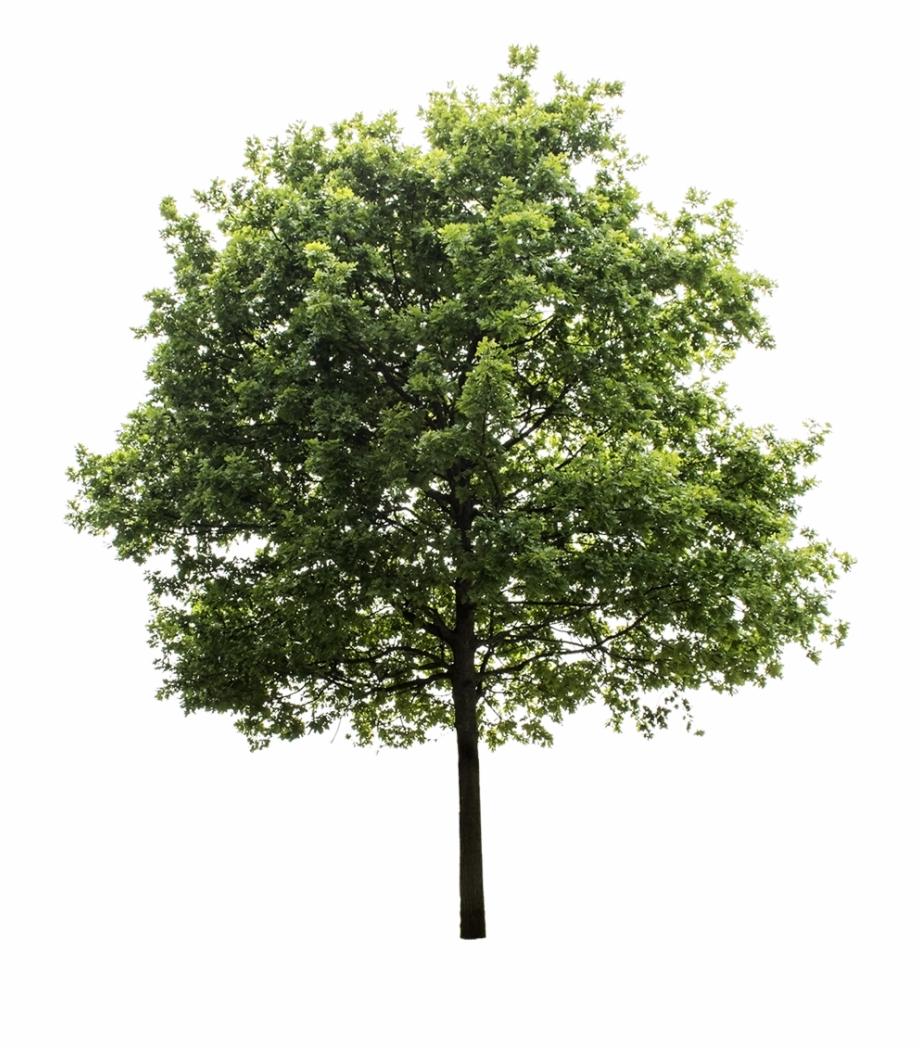 Tree Render, Oak Tree, Trees To Plant, Tree Photoshop,.