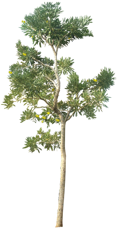 Png Tree Transparent Background Hd #750.