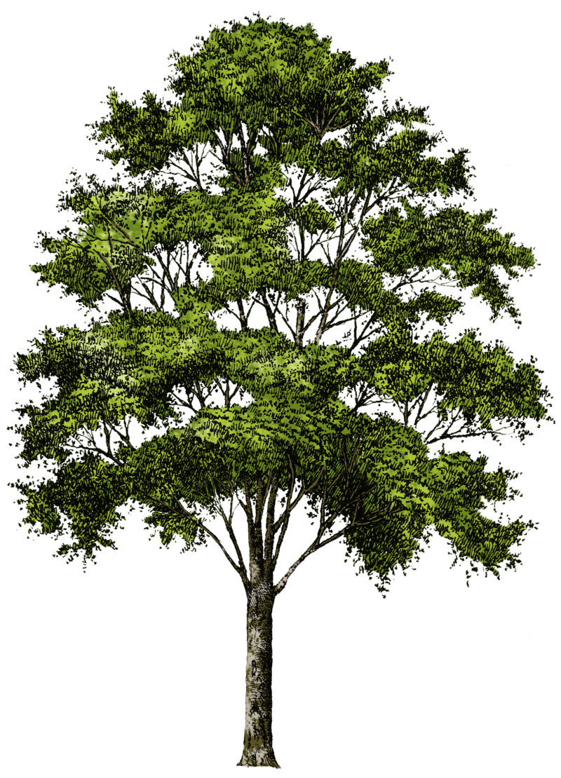 Download Free png tree png image, free download, picture, Download.