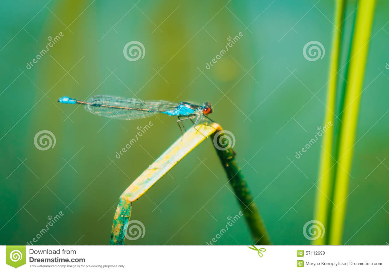 Marsh Dragonfly On A Blue Water Background. Arrow Fine (Ischnura.
