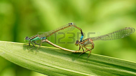 Damselfly Dragonfly Images, Stock Pictures, Royalty Free Damselfly.
