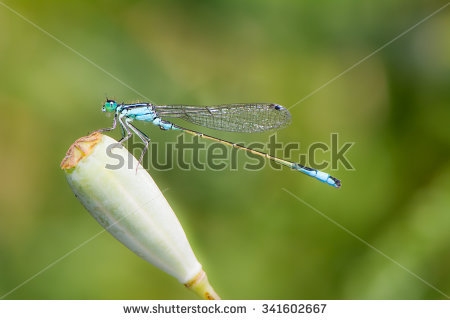 Common Bluetail Damselfly Stock Photos, Images, & Pictures.