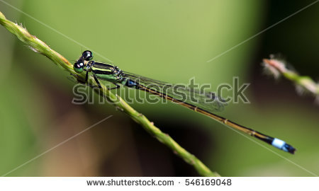 Ischnura Stock Images, Royalty.