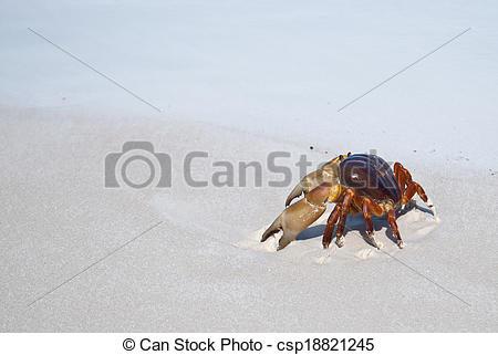 Stock Photo of red crab(poo kai) on beach ,Tachai island, Similan.