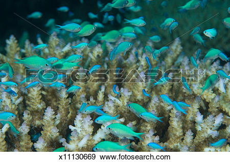 Stock Photograph of Fiji, Vanua Levu Island, school of damselfish.