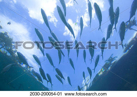 Stock Photography of Bahamas, Paradise Island, school of fish at.