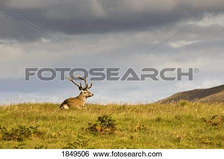Stock Images of Island of Islay, Scotland; Buck resting on a hill.