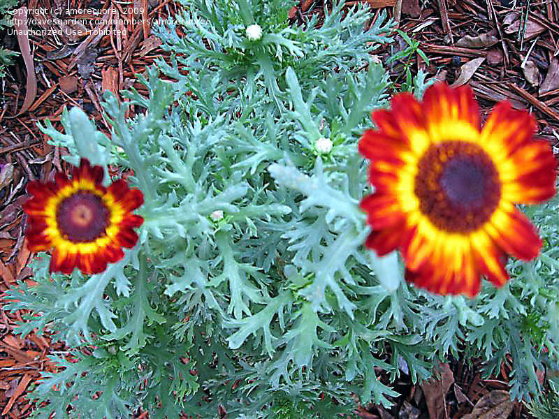 PlantFiles Pictures: Painted Daisy, Tricolor Chrysanthemum 'German.