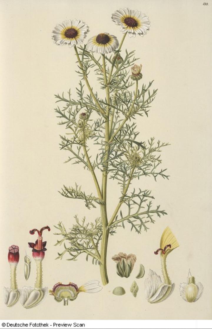 File:Ismelia carinata.jpg.