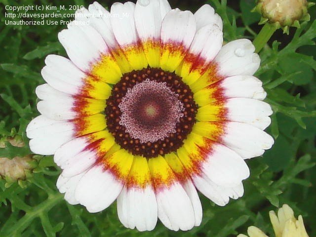 PlantFiles Pictures: Painted Daisy, Tricolor Chrysanthemum.