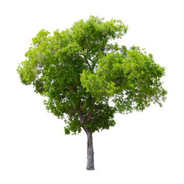 Tree PNG Images, Download 55,489 Tree PNG Resources with Transparent.