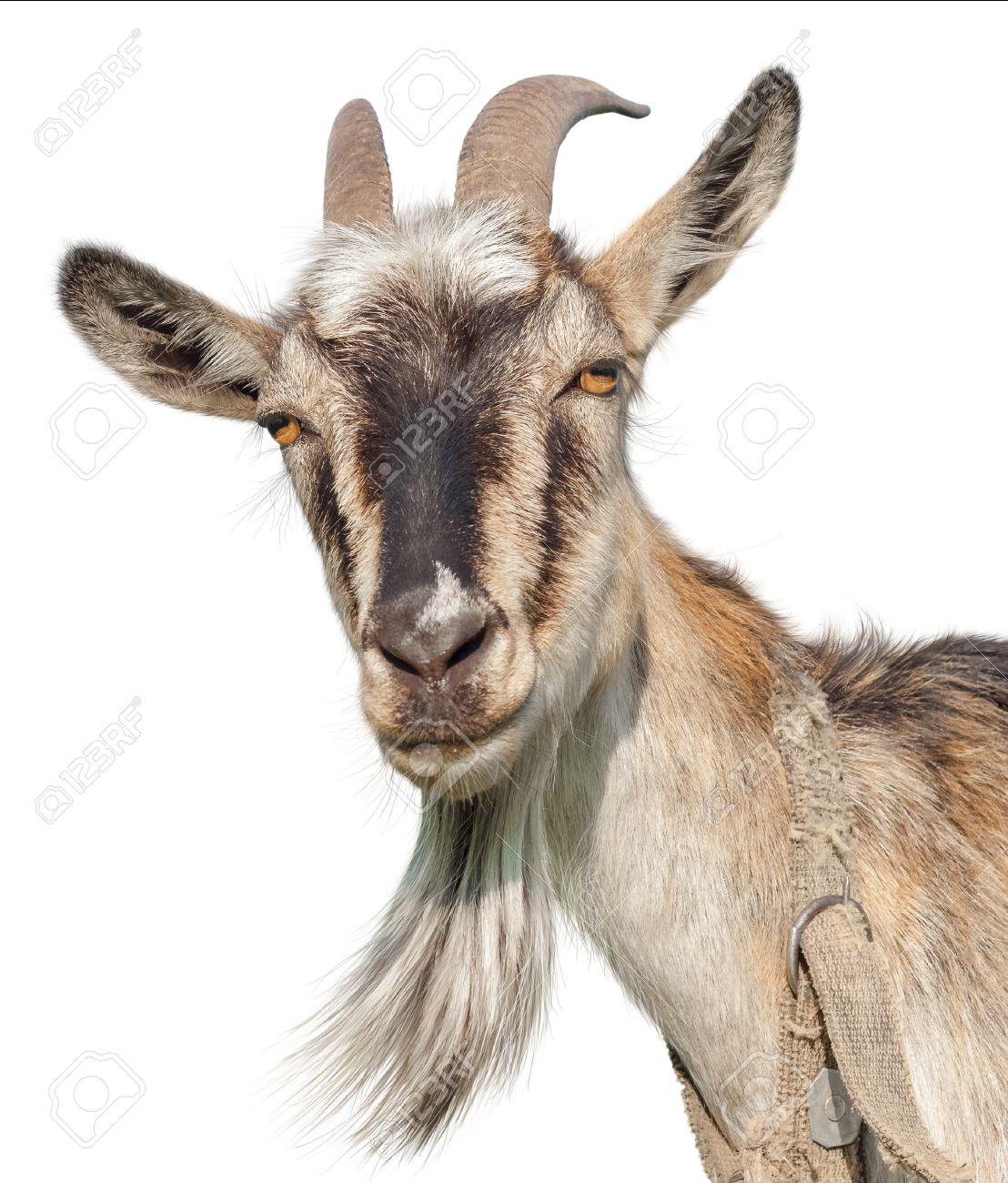Goat isolated on a white background. Transparent PNG file available.
