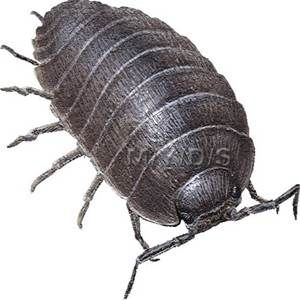 1000+ images about Woodlice on Pinterest.