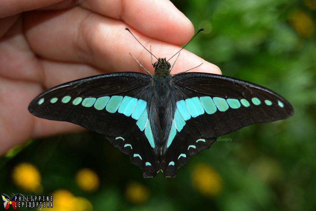 Common Bluebottle.