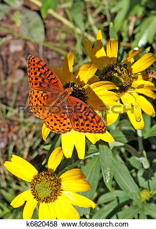 Pictures of Atlantis Fritillary butterfly 2 k6820458.