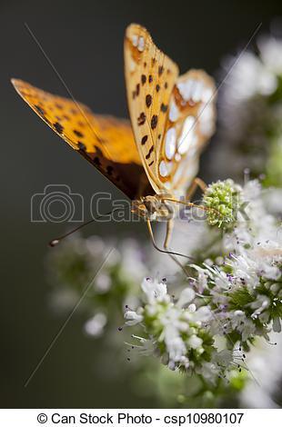 Stock Photography of Issoria lathonia.