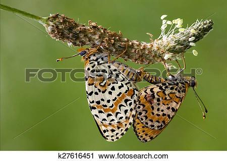 Stock Photography of orange butterfly having sex k27616451.