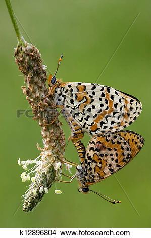 Stock Photo of two orange butterfly having sex k12896804.
