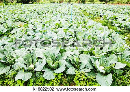 Stock Photo of cauliflower plant, cabbage in vegetable garden.