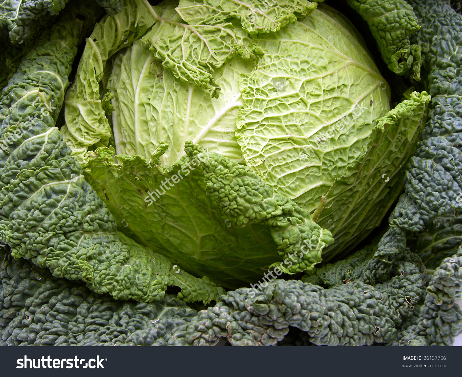 Italian Cabbage Stock Photo 26137756.