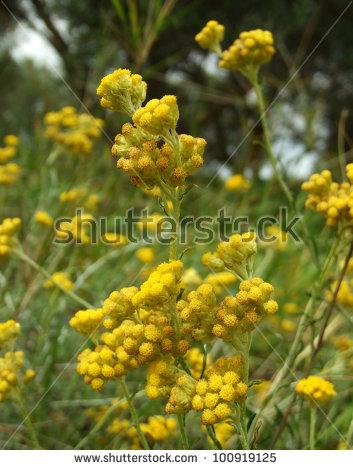 "helichrysum_italicum"" Stock Photos, Royalty."