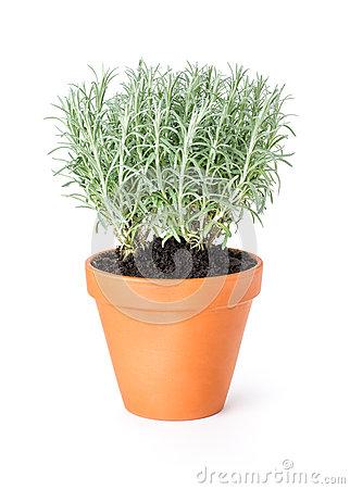 Italian Everlasting , Helichrysum Italicum, Curry Plant Stock.