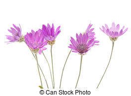 Immortelle Stock Photo Images. 269 Immortelle royalty free.